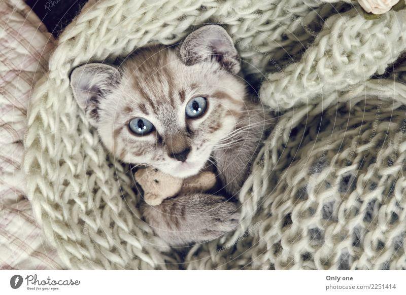 Snow Bengal Kitten Cat Animal Baby animal Sleep Pet