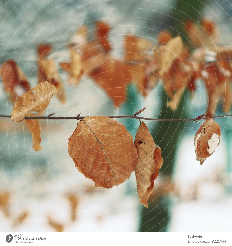 Nature Old Blue Tree Leaf Winter Cold Snow Autumn Environment Brown Time Change Transience Autumn leaves Autumnal colours