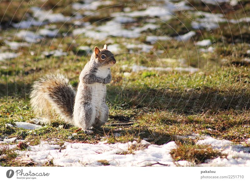 A U.S. American rodent Nature Earth Spring Ice Frost Snow Park Meadow Animal Squirrel 1 Wait Brash Curiosity Spring fever Diligent Endurance Cold Rodent Tuft