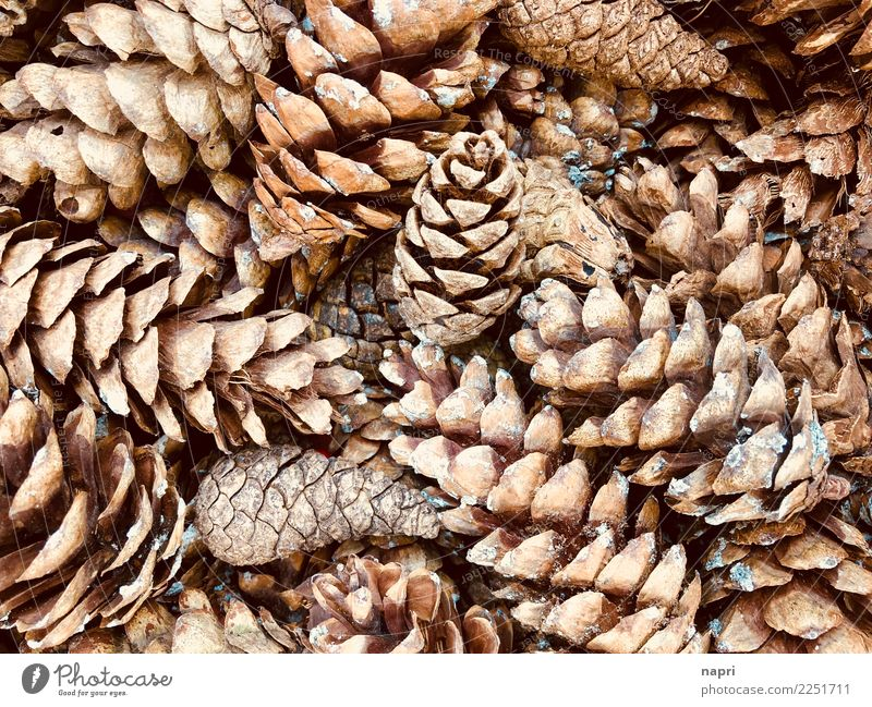 Nature Winter Forest Autumn Background picture Natural Brown Decoration Collection Sustainability Accumulation Ecological Fir cone