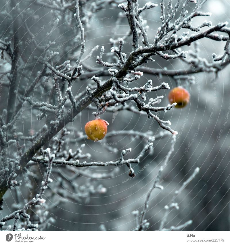 Nature Tree Plant Red Winter Yellow Cold Environment Gray Ice Frost Authentic Apple Branch Freeze Hang