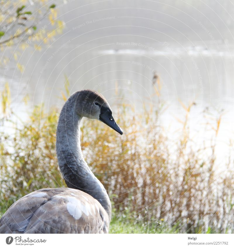 In the morning at the lake Environment Nature Landscape Plant Animal Water Autumn Beautiful weather Wild plant Common Reed Lakeside Wild animal Bird Swan 1