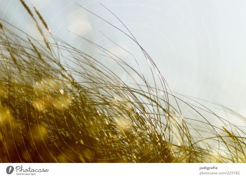 Nature Plant Environment Grass Moody Wind Glittering Growth Natural Wild Soft Illuminate Marram grass