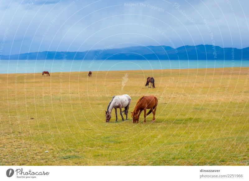 Horses around Song Kul lake, Kyrgyzstan Beautiful Vacation & Travel Tourism Summer Mountain Nature Landscape Sky Clouds Fog Grass Park Meadow Hill Rock Lake
