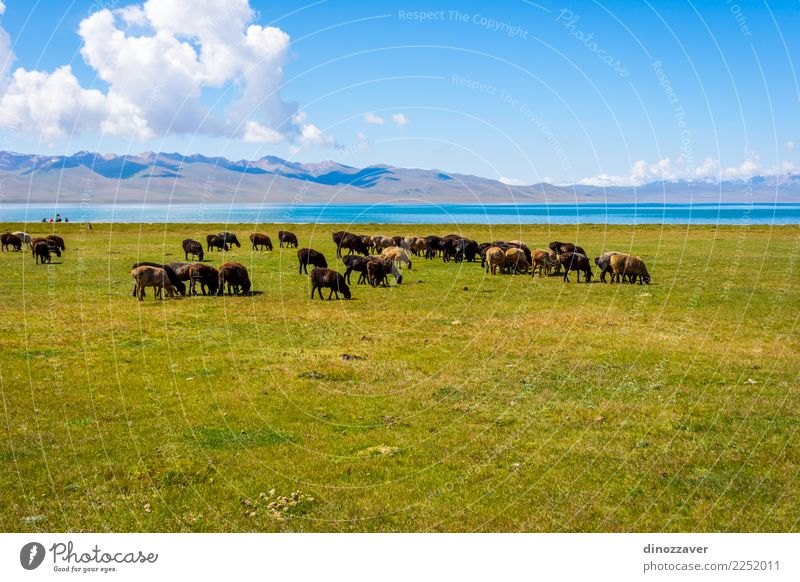 Herd of sheep by Song kul lake Beautiful Vacation & Travel Summer Mountain Nature Landscape Animal Clouds Fog Grass Park Meadow Hill Rock Lake Natural Green