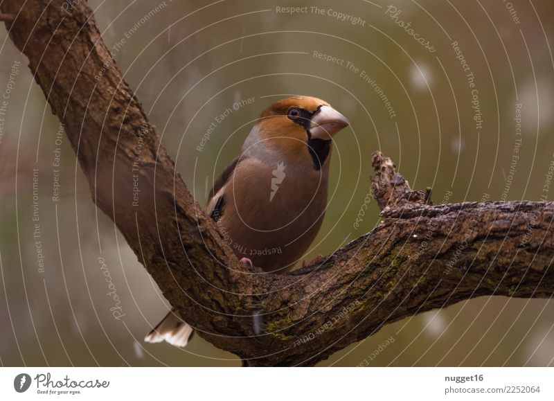 hawfinch Environment Nature Animal Spring Autumn Winter Climate Weather Bad weather Ice Frost Snow Snowfall Tree Garden Park Forest Wild animal Bird Animal face