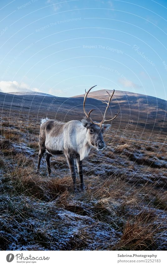 Reindeer in the Scottish Highlands, Great Britain Environment Nature Landscape Plant Animal Cloudless sky Autumn Winter Beautiful weather Snow Grass bushes