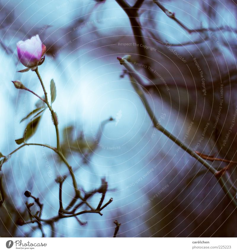 Nature Blue Plant Flower Leaf Dark Garden Blossom Sadness Pink Bushes Rose Violet Decline Branchage Dreary