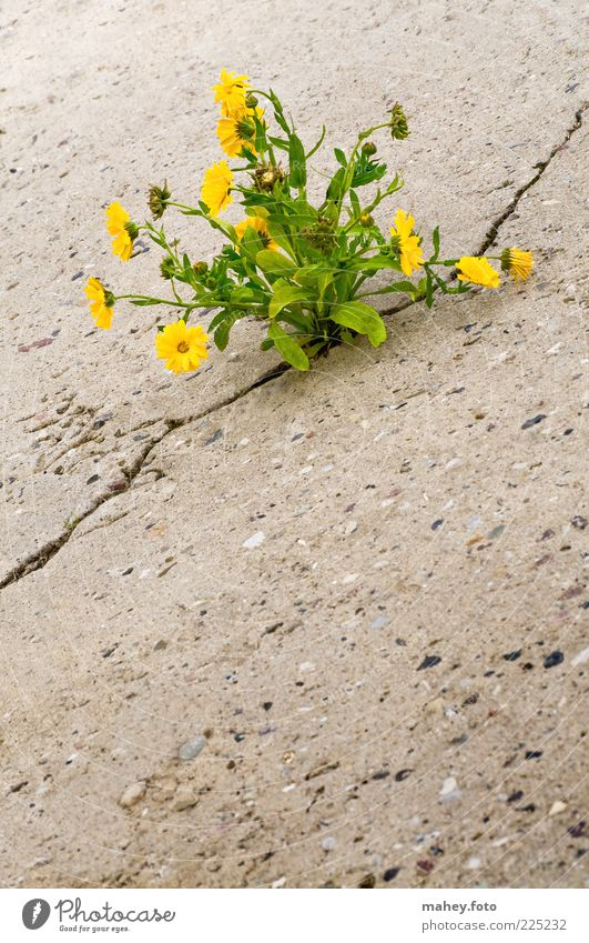 Nature Beautiful Plant Flower Leaf Loneliness Yellow Environment Gray Blossom Healthy Earth Power Concrete Poverty Growth