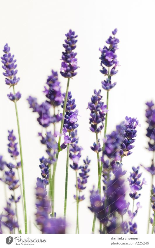 """when summer is not far..."" Herbs and spices Plant Summer Blossom Agricultural crop Fragrance Bright Blue Violet White Lavender Close-up Detail Light Odor Stalk"