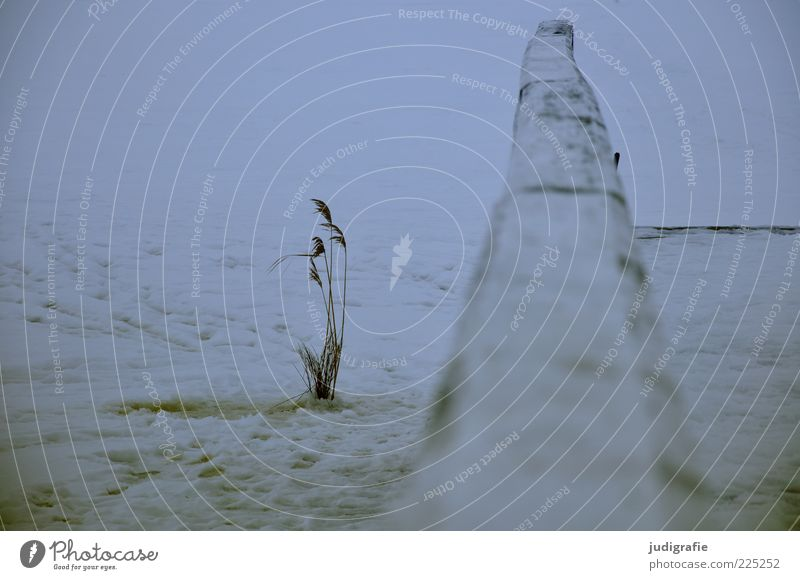 Nature White Plant Winter Cold Snow Environment Grass Coast Moody Lake Ice Gloomy Frost Stalk Common Reed