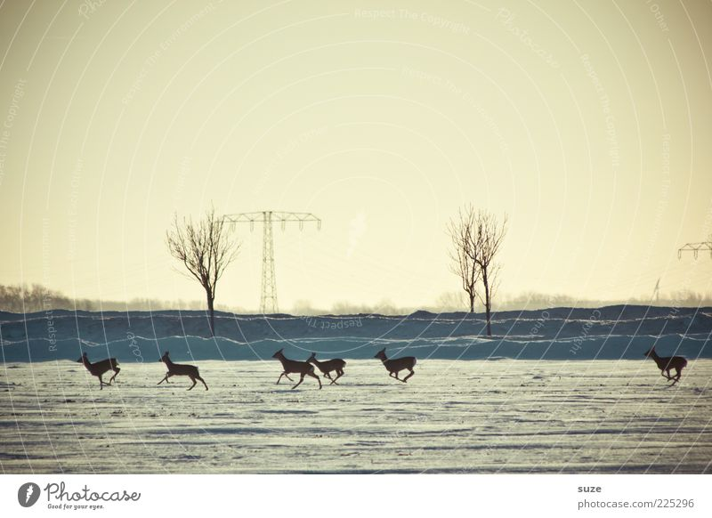 6 in one fell swoop Nature Landscape Animal Sky Cloudless sky Horizon Winter Snow Wild animal Group of animals Herd Running Authentic Small Roe deer Escape