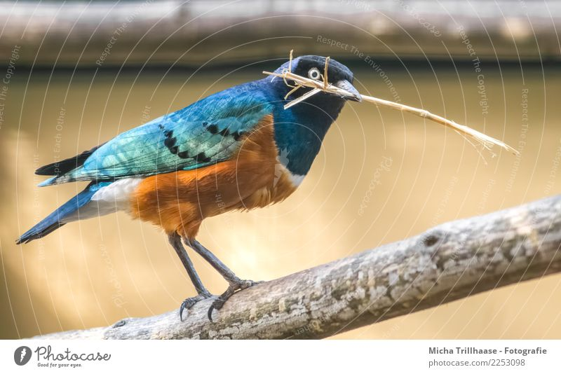 Colorful Starling Environment Nature Animal Sun Sunlight Beautiful weather Tree Branch Twig Wild animal Bird Animal face Wing Claw Beak Eyes Feather 1 Build