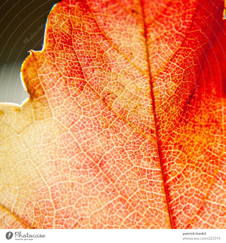 Nature Plant Red Autumn Environment Esthetic Beautiful weather Autumn leaves Partially visible Rachis Autumnal Detail Indian Summer