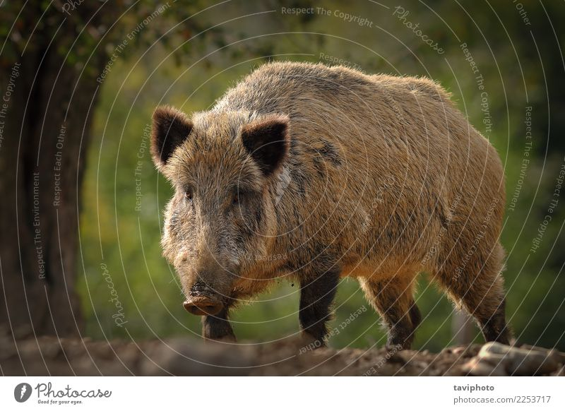 huge wild boar coming towards the camera Nature Man Beautiful Animal Forest Face Adults Environment Autumn Brown Wild Dangerous Large Living thing Strong Camera