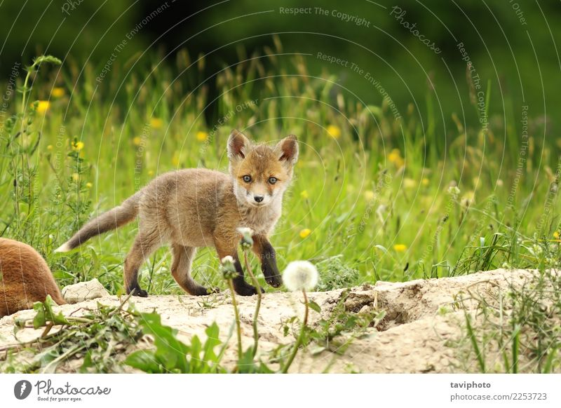 tiny red fox cub Beautiful Baby Environment Nature Animal Grass Meadow Fur coat Dog Baby animal Small Natural Cute Wild Green Red Colour Fox vulpes Strange