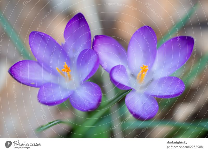 Two crocuses in close-up in violet, yellow and green Nature Plant Spring Beautiful weather Flower Leaf Blossom Wild plant Crocus Spring flowering plant Growth
