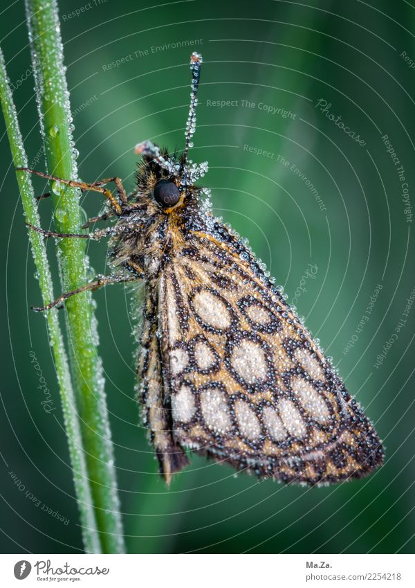 Butterfly with morning dew Nature Drops of water Bog Marsh Animal Wild animal Wing 1 Green Mirror-cornered thick-headed butterfly Dew Colour photo
