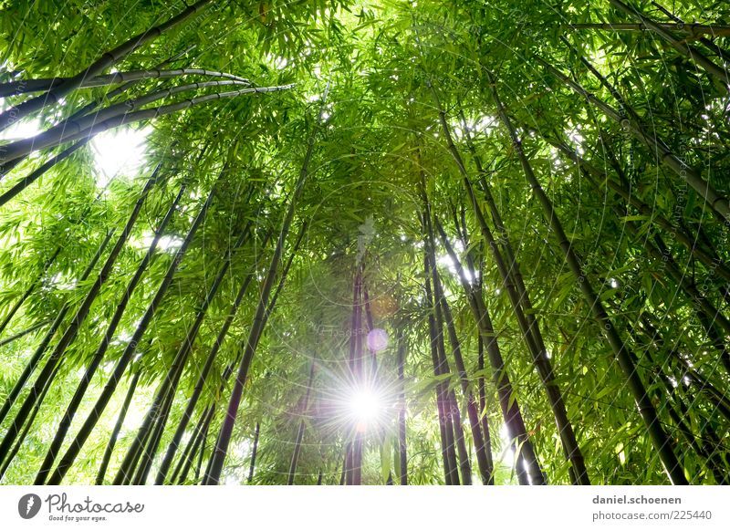 recently in Asia Environment Nature Plant Tree Forest Virgin forest Green Growth Bamboo Light Sunlight Sunbeam Worm's-eye view Back-light Leaf canopy Deserted