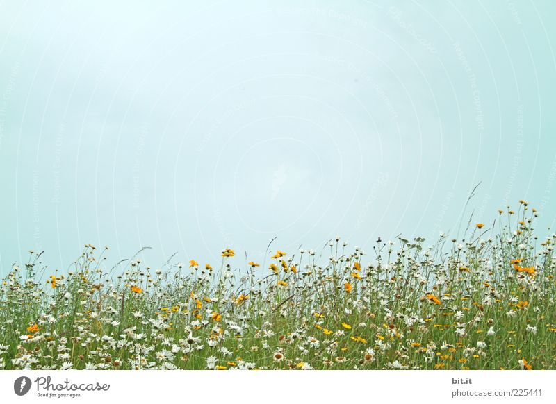 Sky Nature Plant Summer Flower Meadow Environment Grass Spring Natural Marguerite Anticipation Flower meadow Summery Spring fever Summer's day
