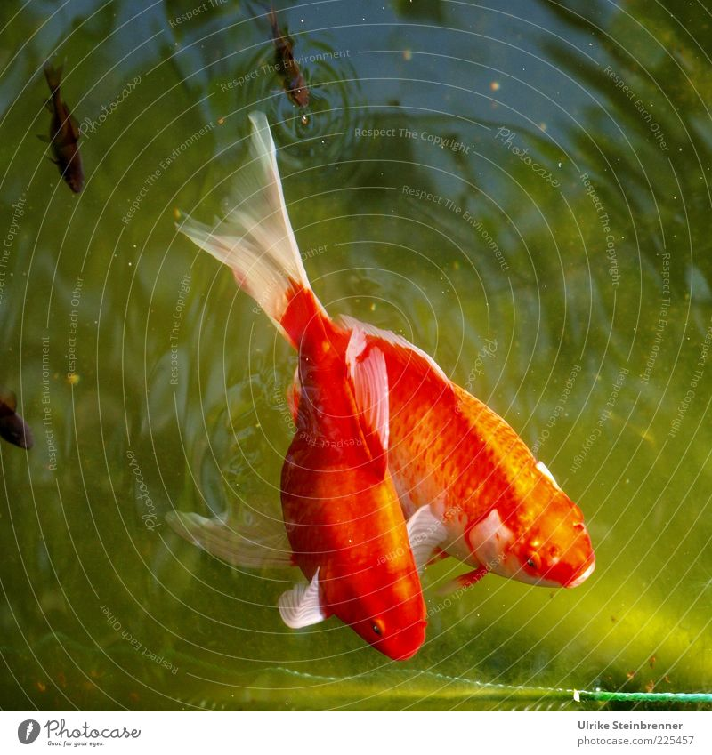 Nature Water Green Beautiful Red Summer Animal 2 Glittering Pair of animals Fish Swimming & Bathing Group of animals Relationship Attachment Pet