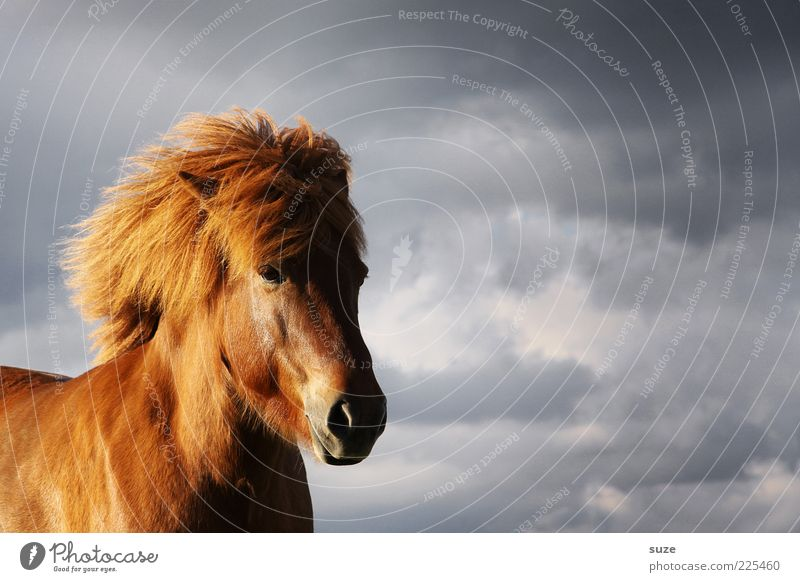 headwind Animal Sky Clouds Wind Farm animal Wild animal Horse Animal face Stand Wait Esthetic Natural Moody Mane Iceland Pony Colour photo Multicoloured