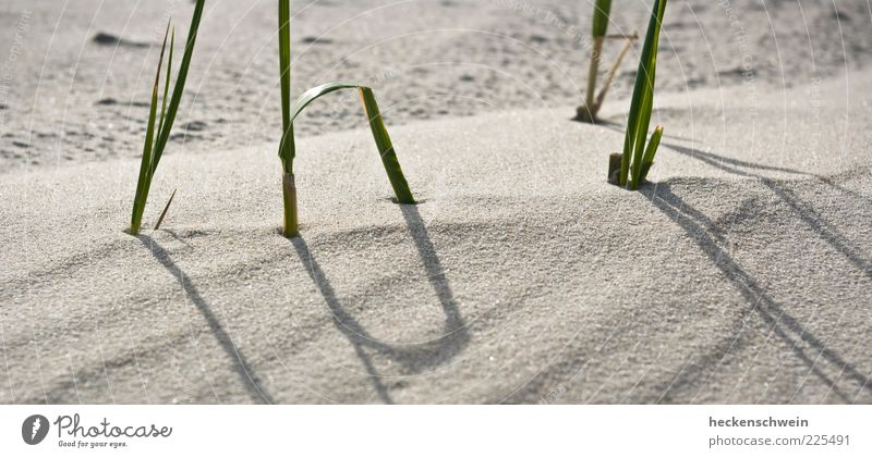 Nature Beautiful Summer Beach Grass Sand Stalk Endurance Unwavering Marram grass