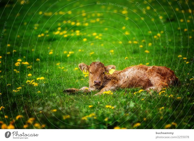 Young calf in the pasture Agriculture Forestry Animal Meadow Farm animal Yellow Green organic organic farming brn youthful Calf Dairy cow Mammal Copy Space