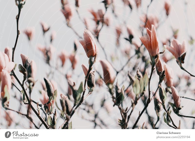 magnolia Environment Nature Plant Spring Autumn Tree Flower Blossom Wild plant Park Blossoming Fragrance Dream Sadness Beautiful Retro Brown Pink Emotions Moody