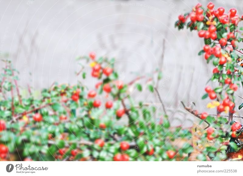 frugal Nature Autumn Plant Bushes Leaf Green Red Berries Hedge Colour photo Exterior shot Copy Space top Day Blur Central perspective Deserted
