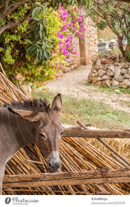 The donkey looks sleepy and bored and doesn't let himself be put off so quickly. Italy Deserted Exterior shot Keeping of animals Species-appropriate Farm