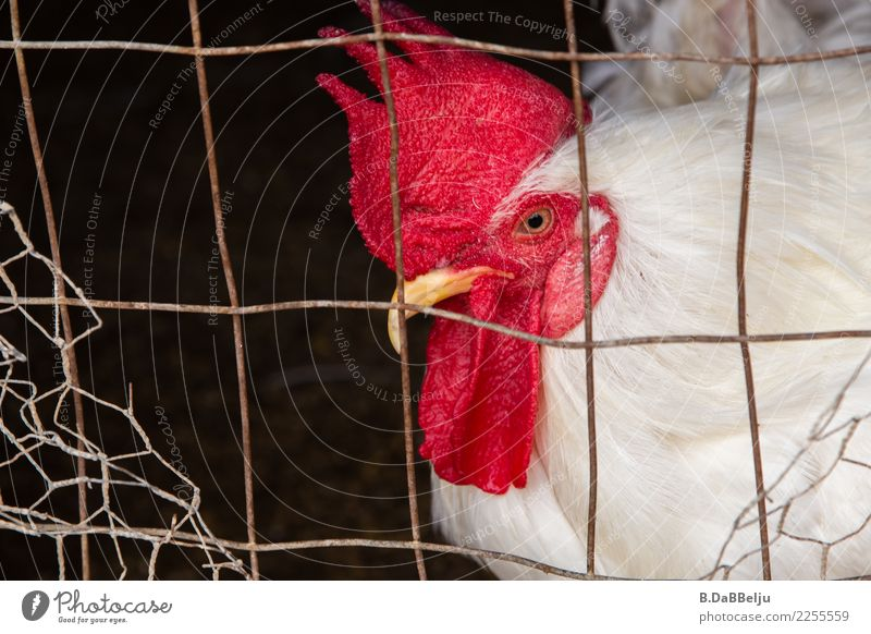 I'm the boss here... Animal Farm animal Bird Rooster 1 Attentive Curiosity Interest Mistrust Perspective Chicken coop Grating Cockscomb Superior Observe Pride