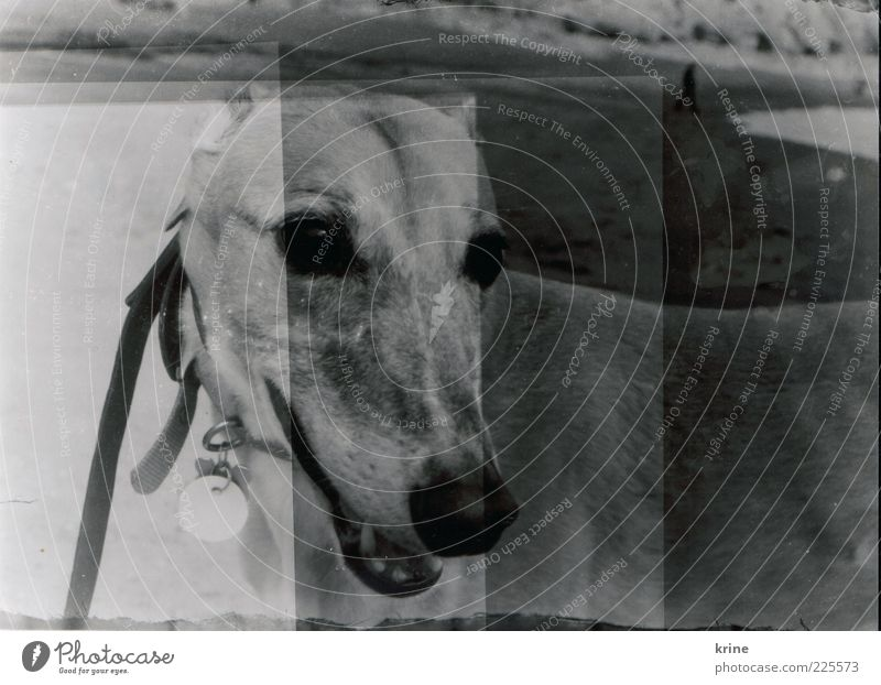 Beach Ocean Animal Gray Head Dog Wait Esthetic Animal face Observe Double exposure Pet Exposure Black & white photo Photographic technology Walk on the beach