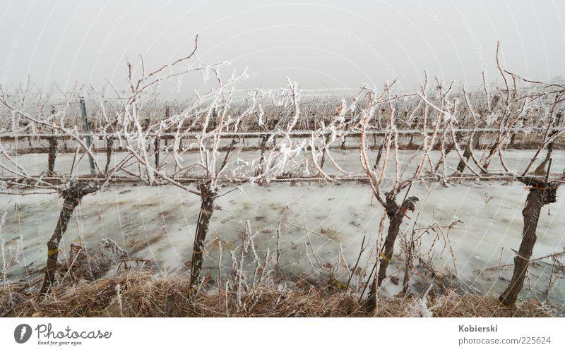 Blue Plant Winter Cold Grass Brown Ice Field Fog Climate Frost Vine Culture Bizarre Tradition Bleak