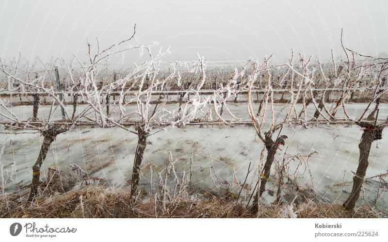 Winter at the vineyard Wine growing Fog Ice Frost Plant Agricultural crop Vine Field Vineyard Cold Sustainability Blue Brown Bizarre Climate Culture Stagnating