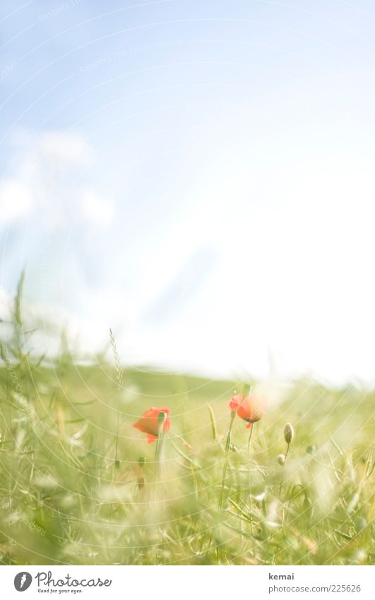Gentle poppy blossom Environment Nature Plant Sky Sunlight Summer Beautiful weather Warmth Grass Leaf Blossom Wild plant Poppy Meadow Blossoming Growth Bright