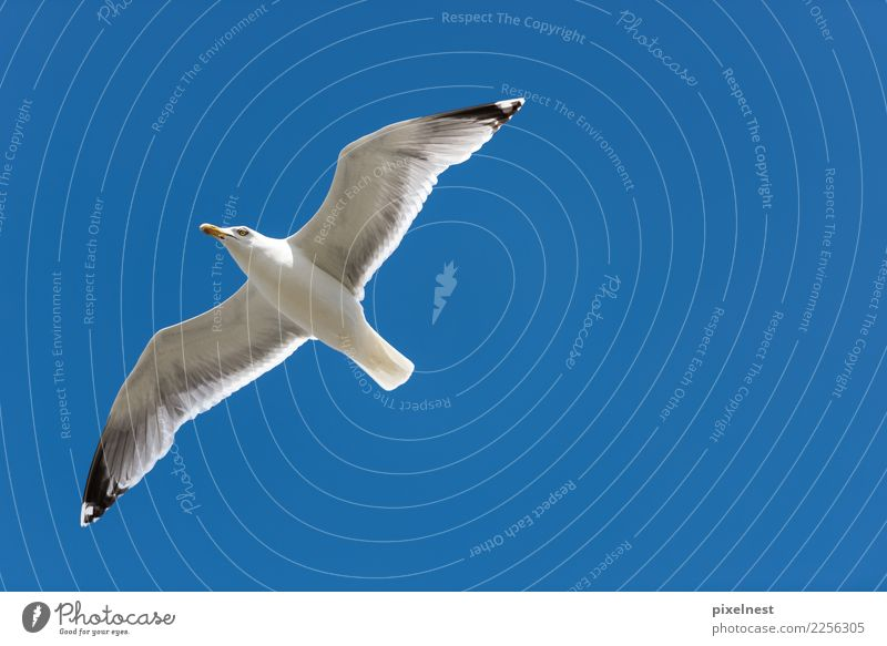 Silver Gull Summer Animal Beautiful weather Wild animal Bird Seagull Silvery gull 1 Observe Flying Free Blue White Freedom Perspective Vacation & Travel Calm