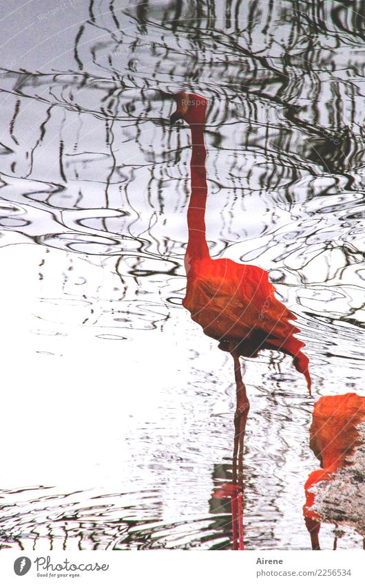 waterfowl perspective Animal Water Ocean Bog Marsh Pond Surface of water Water reflection Bird Flamingo Zoo 2 Stand Exceptional Thin Elegant Exotic Tall Long