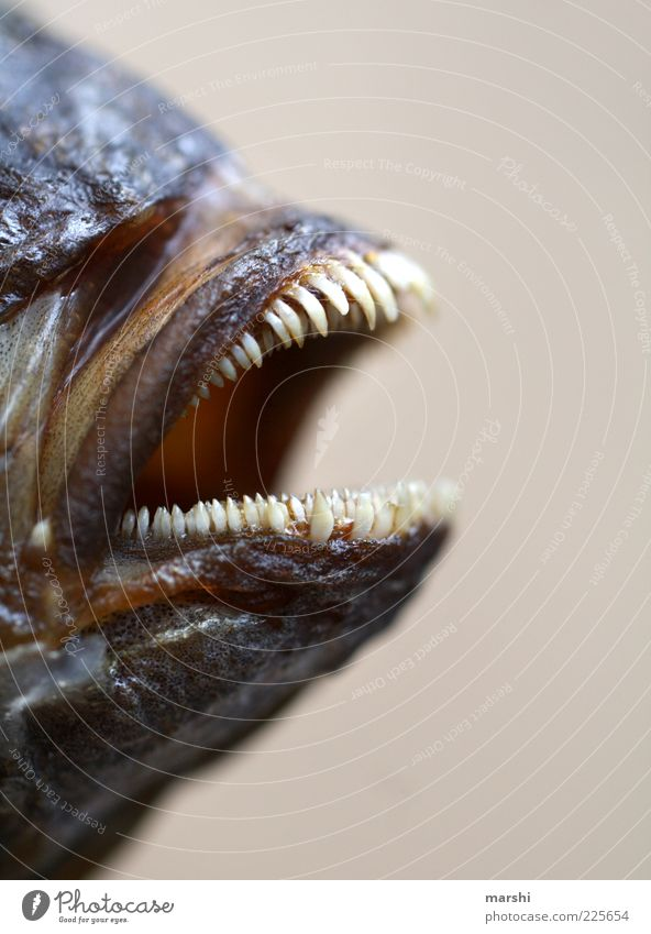 snappish Animal Dead animal Animal face 1 Point Muzzle Teeth Trenchant Fish Nutrition Blur Disgust Fish mouth Dorade Piranha Small Food Threat Dangerous Detail