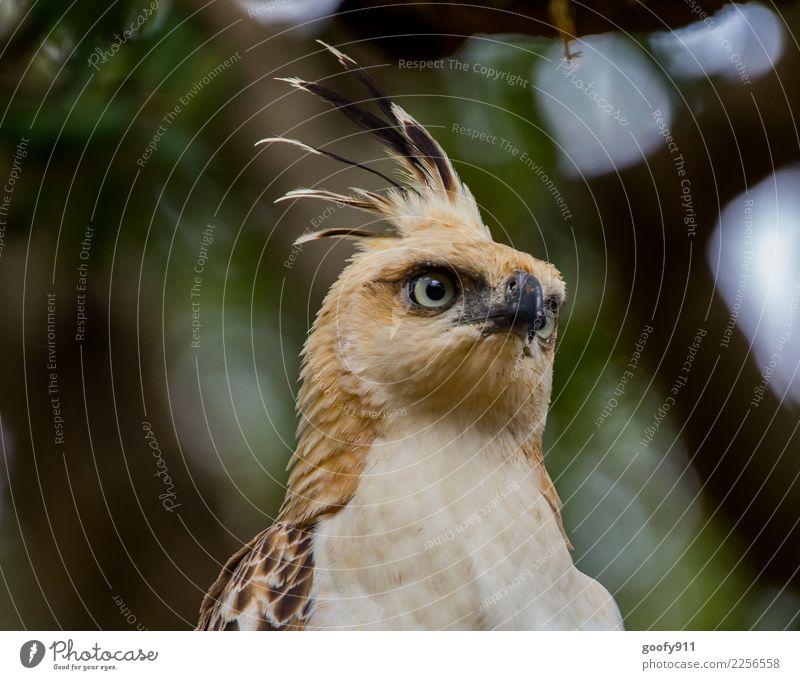 Falcon Eagle Vacation & Travel Tourism Trip Adventure Safari Expedition Tree Forest Virgin forest Sri Lanka Asia Bird Animal face Wing Pelt Eagles eyes 1