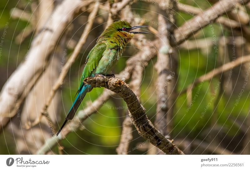 Green Bee Eater Vacation & Travel Tourism Trip Adventure Far-off places Safari Expedition Environment Nature Sunlight Beautiful weather Tree Branch Forest
