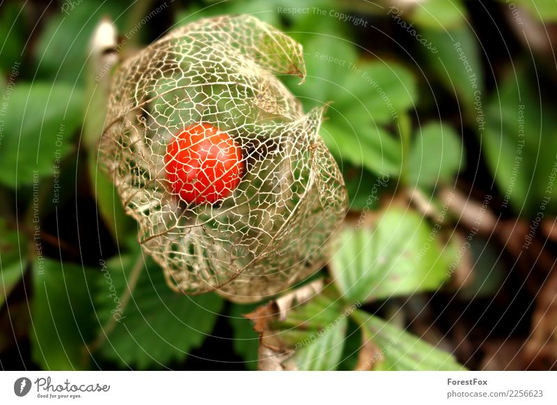 The lantern flower Environment Nature Plant Autumn Beautiful weather Leaf Foliage plant Garden Round Green Orange Red Physalis Chinese lantern flower Reticular