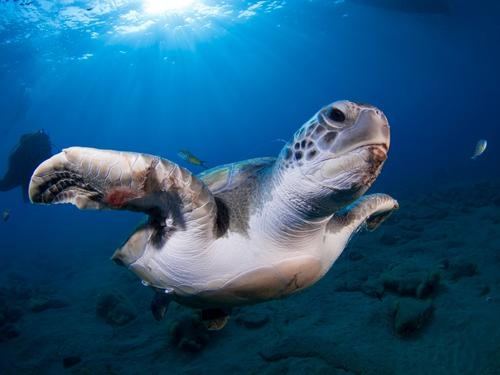 Green turtle (Chelonia mydas) Exotic Joy Vacation & Travel Beach Ocean Nature Plant Animal Warmth Coast Large Natural Under Colour loggerhead clear calm reef