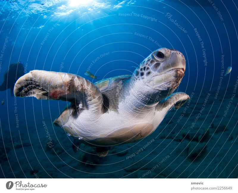 Green turtle (Chelonia mydas) Nature Vacation & Travel Plant Colour Ocean Animal Joy Beach Warmth Natural Coast Large Exotic Under Tropical