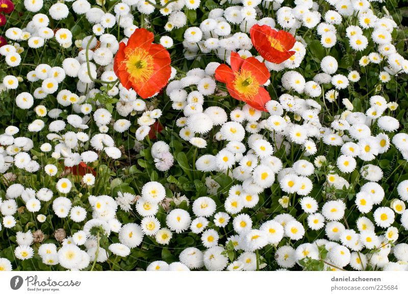 A little spring Plant Flower Leaf Blossom Red White Spring Daisy Poppy Detail Copy Space bottom Blossoming Deserted Bird's-eye view Grass Blossom leave