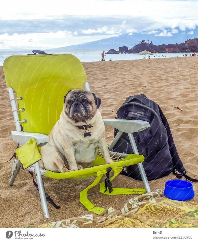 Brutus the Pug Enjoys the Beach Lifestyle Joy Contentment Ocean Island Animal Sand Water Spring Summer Coast Pet Dog Animal face 1 Bowl Beach chair Observe Sit