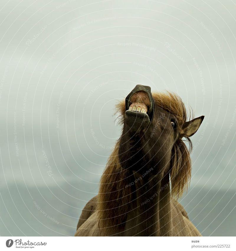 Joy Animal Laughter Funny Fog Horse Animal face Set of teeth Pelt Iceland Whimsical Pet Pony Farm animal Mane Nostrils