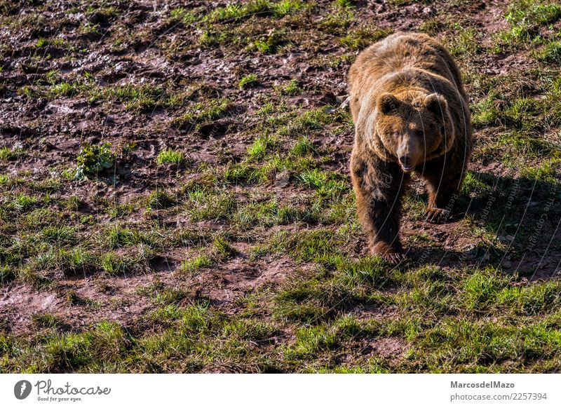Brown bear (Ursus arctos) Freedom Mountain Zoo Nature Animal Grass Park Wild animal 1 Natural Bravery Protection Caution Fear Dangerous Bear Grizzly animals