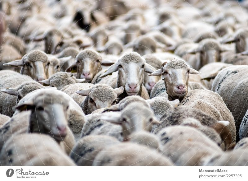 Many merino sheep Culture Animal Farm animal Herd Funny Cute Tradition transhumance livestock Madrid Spain Sheep animals City Strange Migration hordes flock