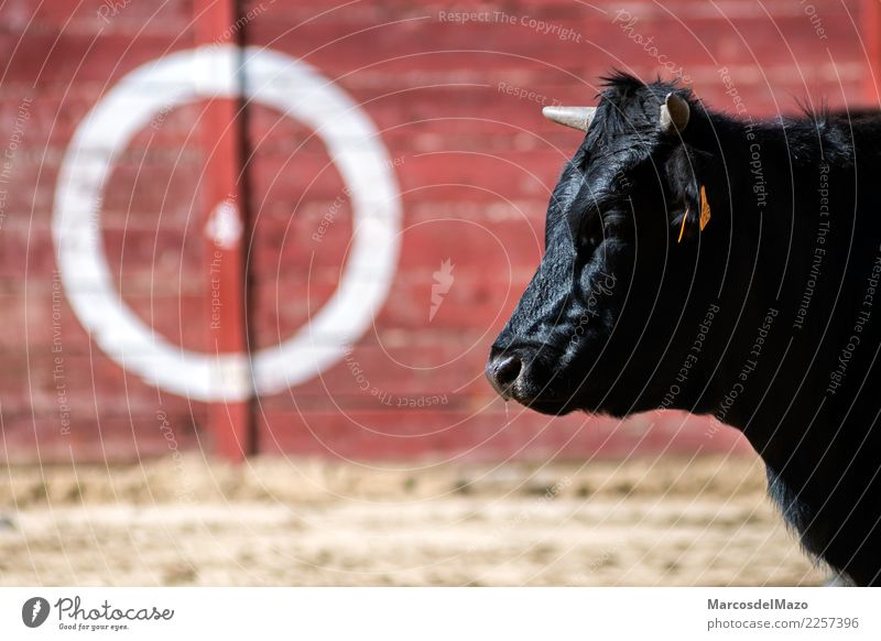 Bull in bullring Culture Animal Farm animal Animal face 1 Aggression Caution Fear Dangerous Tradition Bullfight animals danger Challenging aggressive Spain